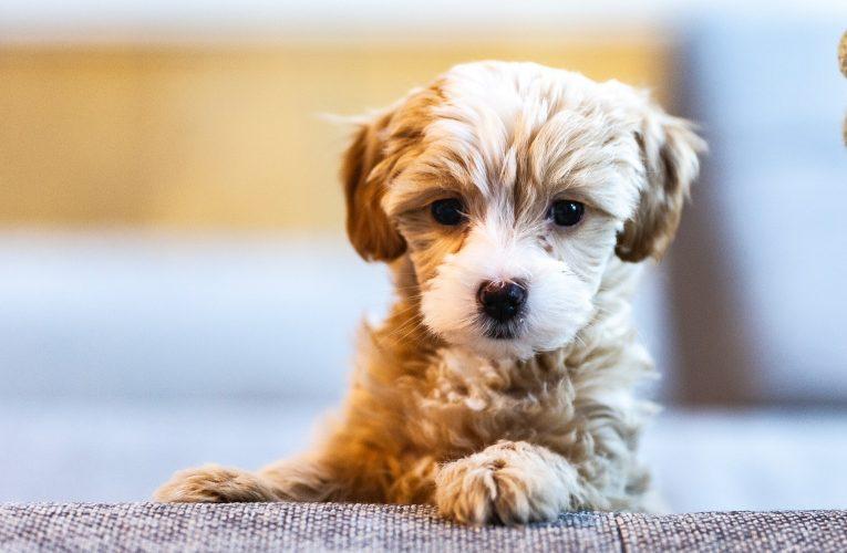 Nekoliko korisnih saveta za dolazak šteneta u vaš dom